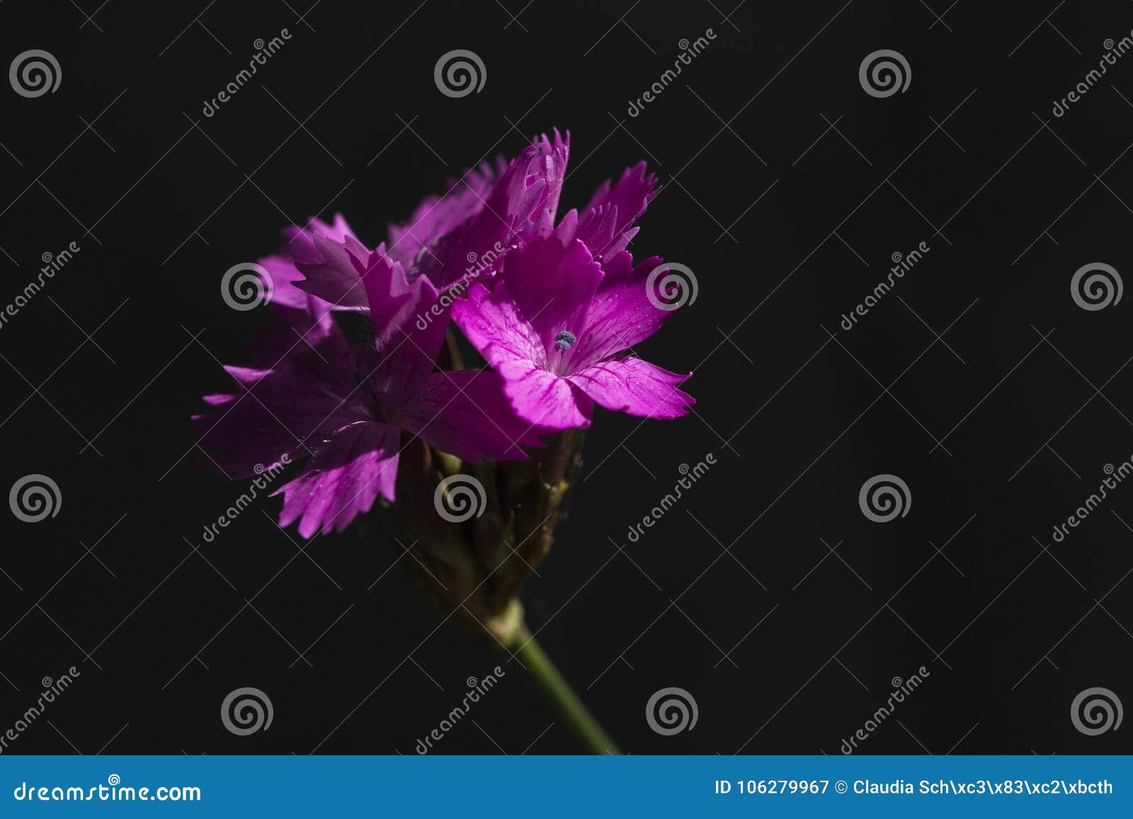 Carthusian rosa färger i skuggaDianthuscarthusianorumen