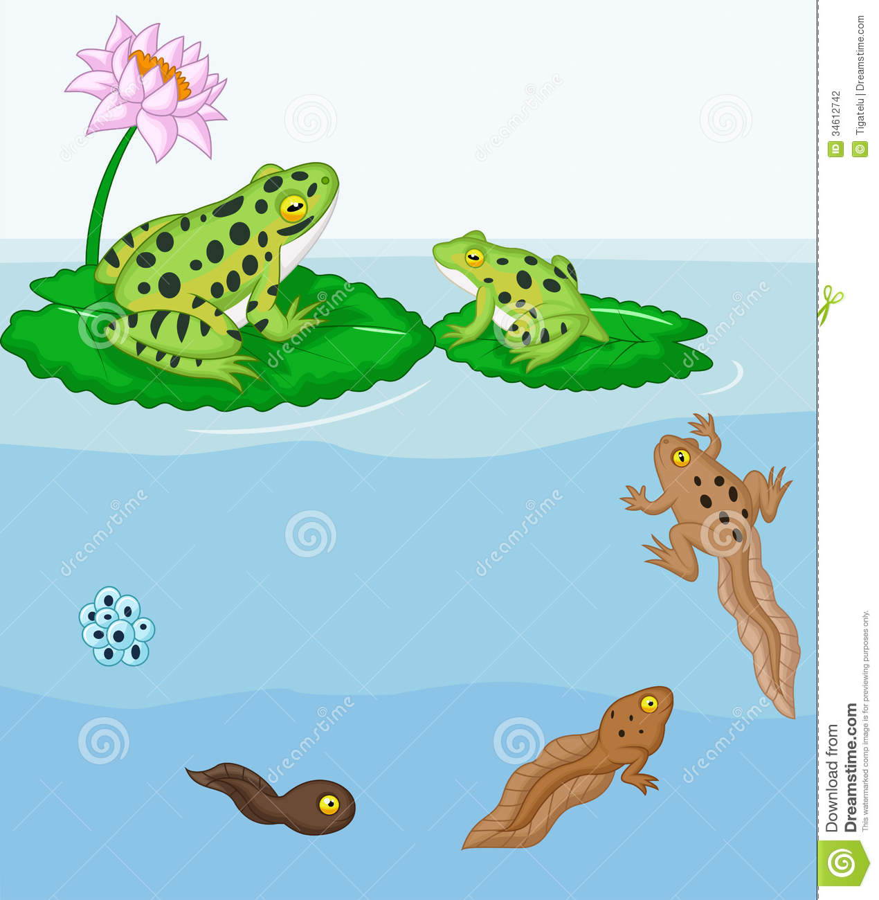 toad life cycle for kids