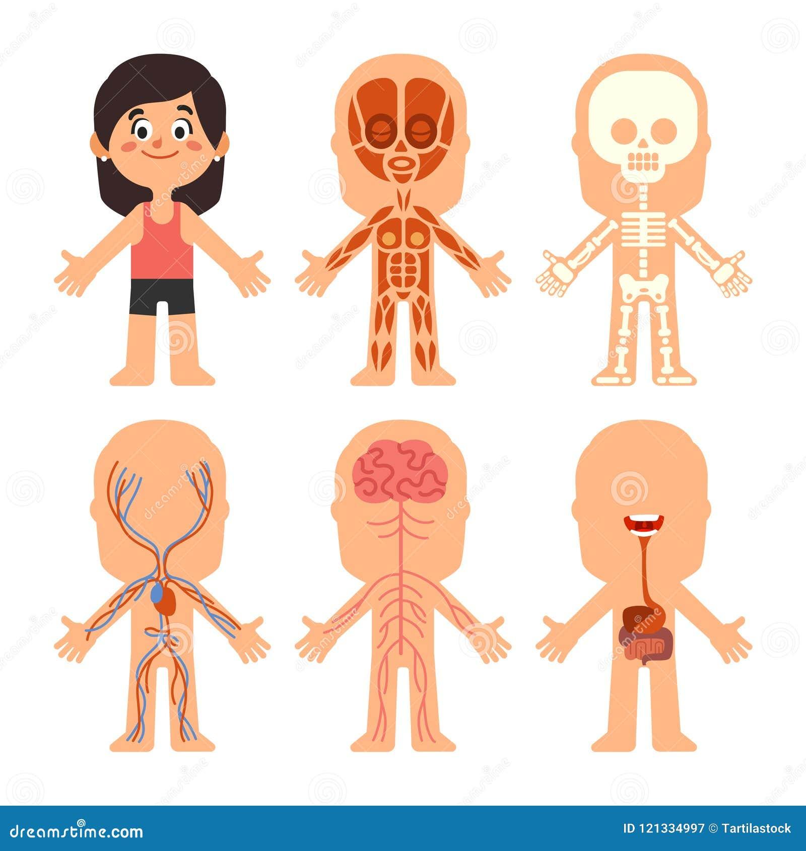 Cartoon Girl Body Anatomy. Woman Veins, Organs And Nervous System ...