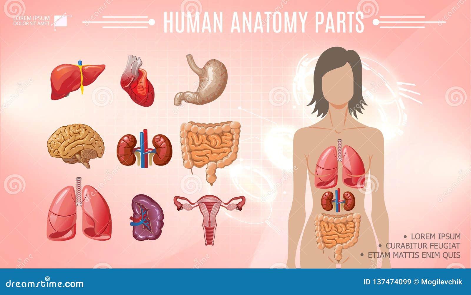 Cartoon Human Anatomy Bright Template Stock Vector Illustration Of