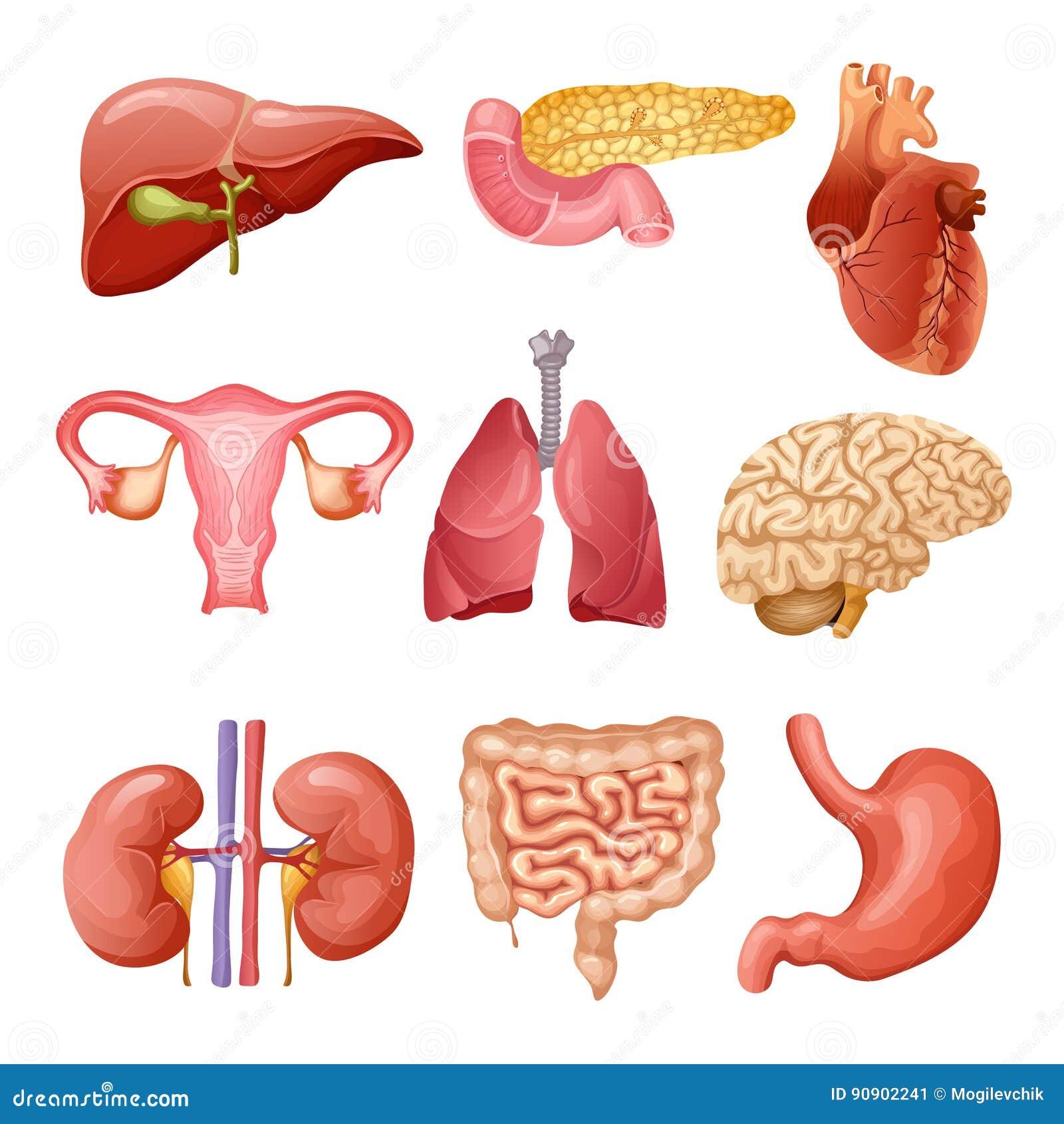 Cartoon Human Organs Set Stock Vector Illustration Of Healthy