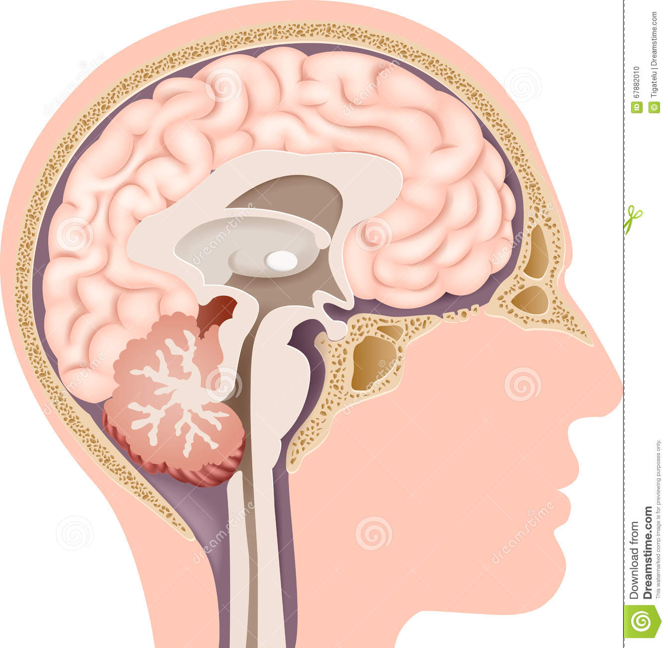 Cartoon Illustration Of Human Internal Brain Anatomy Stock Vector