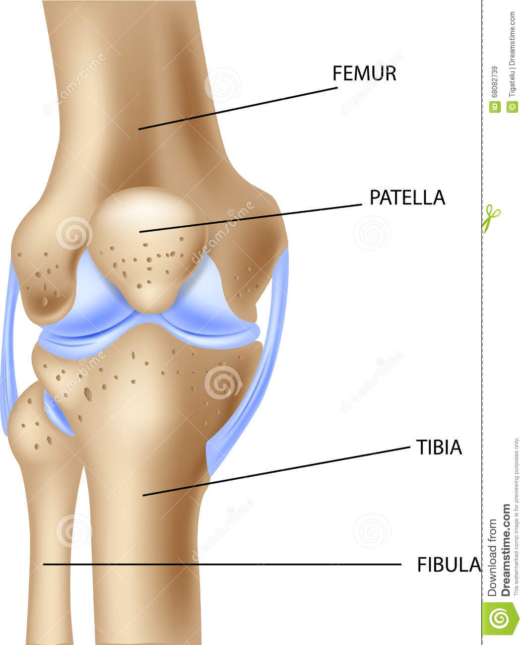 Cartoon Illustration Of The Human Knee Joint Anatomy Stock Vector