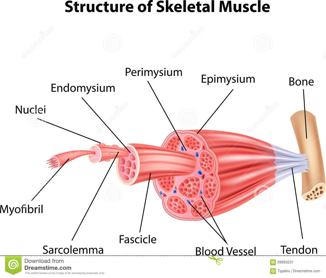 physioex 8 skeletal muscle lab Sims exercise 2: skeletal muscle physiology: activity 2: the effect of  then click  submit data to record your answer in the lab report you answered: 8 volts 12.