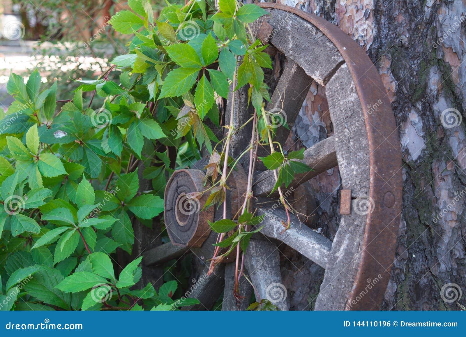 Cartwheel viejo entrelazado con las ramas de la uva salvaje