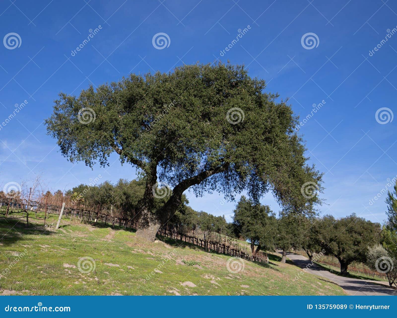 Carvalho de Califórnia no inverno no vinhedo central de Califórnia perto de Santa Barbara California EUA