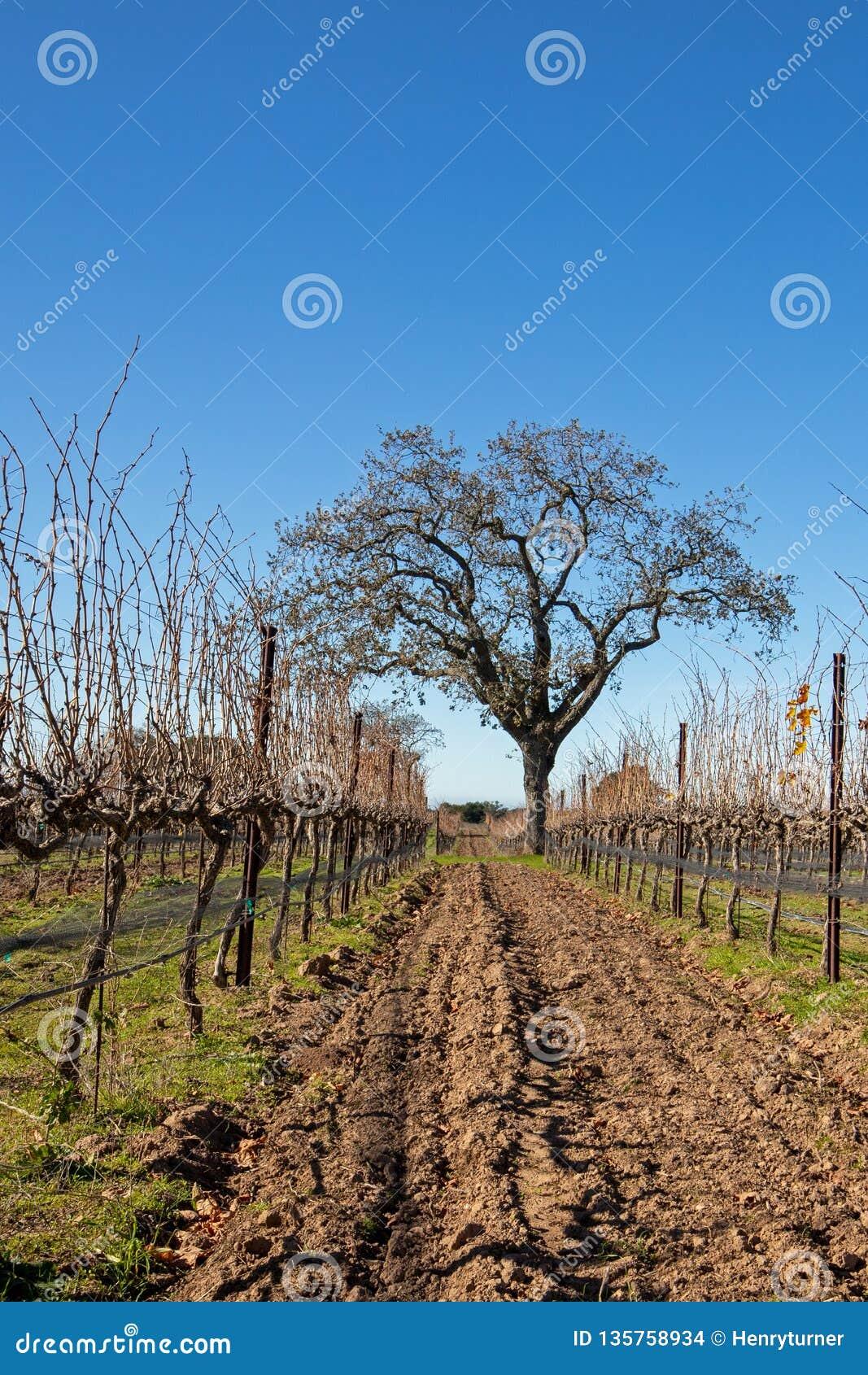 Carvalho de Califórnia no inverno no vinhedo de Califórnia perto dos montes Califórnia EUA de Santa Barbara