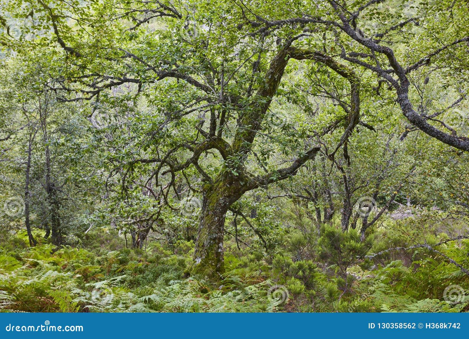 Carvalho velho na reserva da biosfera de Muniellos da floresta Asturia