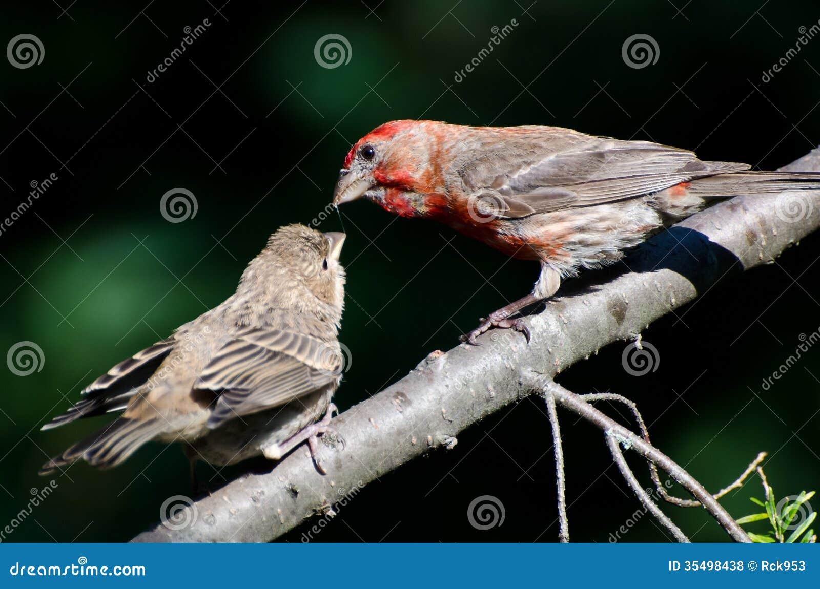 Casa masculina Finch Feeding sus jóvenes