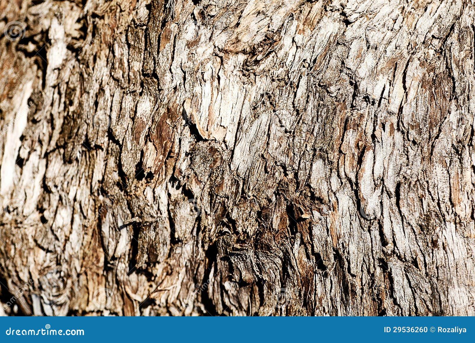 Casca de árvore. Textura de madeira
