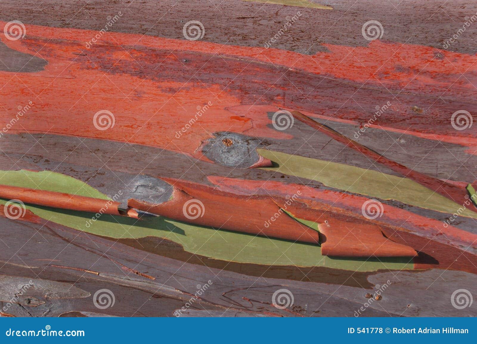 Casca do eucalipto