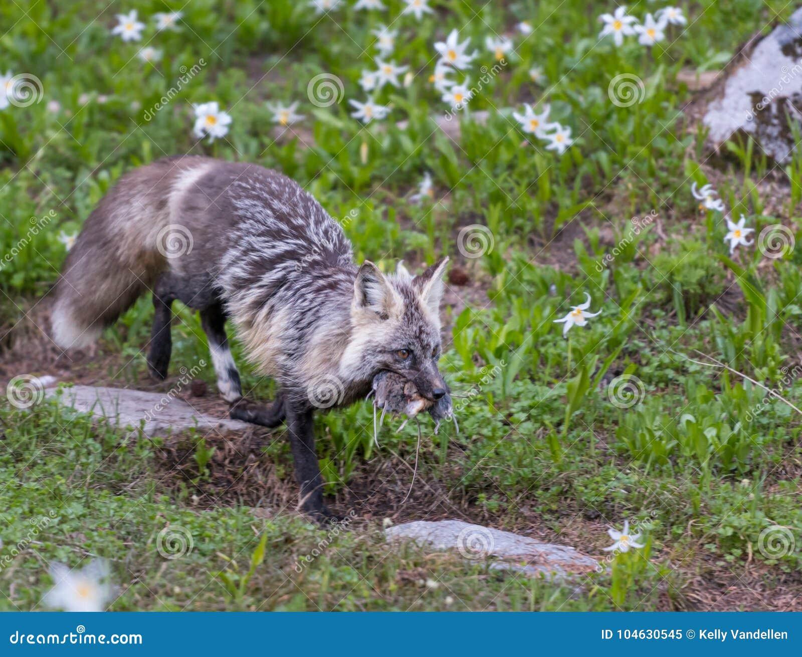 Download Cascade Rode Vos Met Vers Doden Stock Afbeelding - Afbeelding bestaande uit hunting, alpien: 104630545