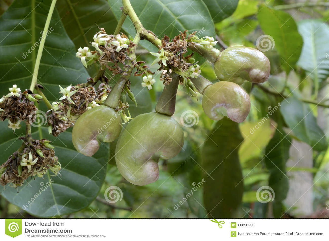 Cashew nut- Flowers and tender nuts on plant