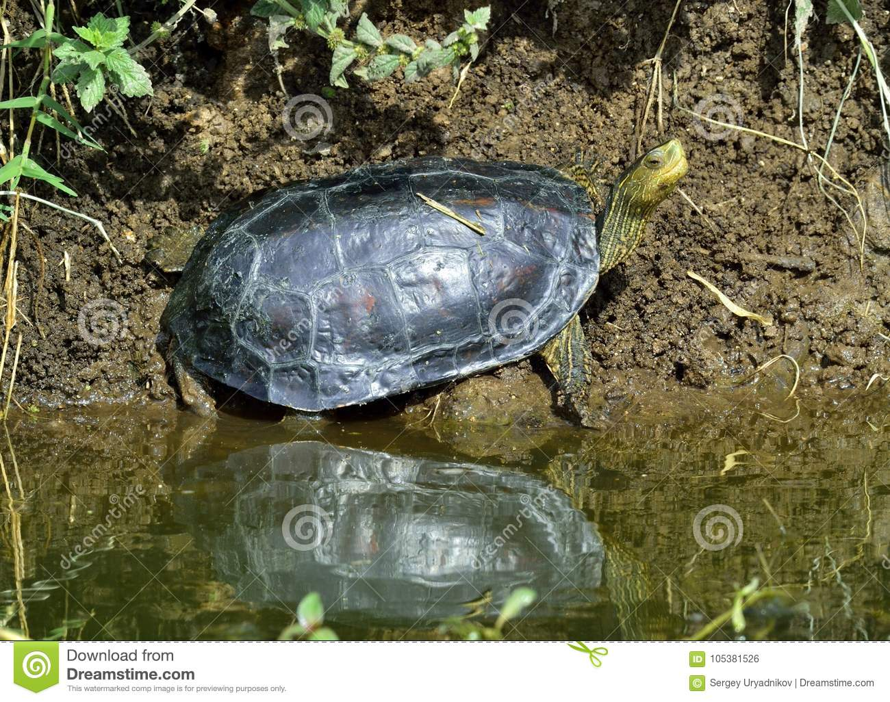 The Caspian Turtle Mauremys Caspica Stock Photo Image Of