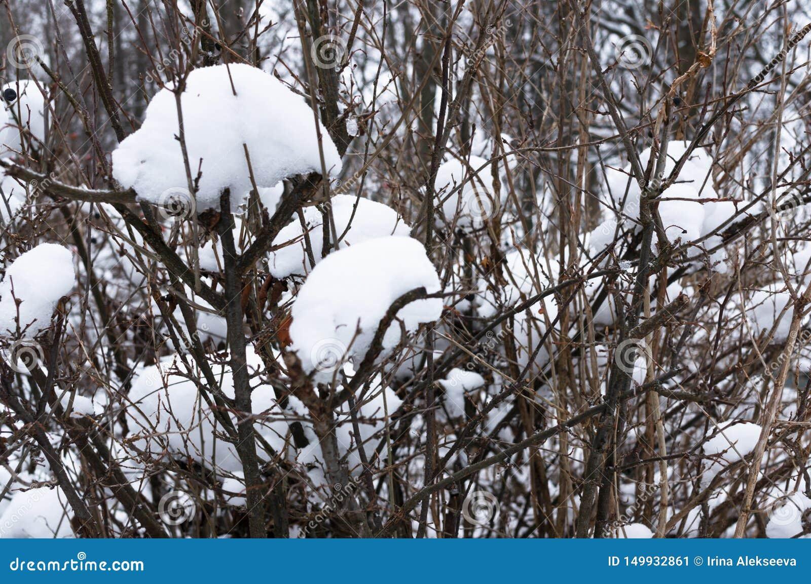 Casquillos de la nieve en ramas de árbol