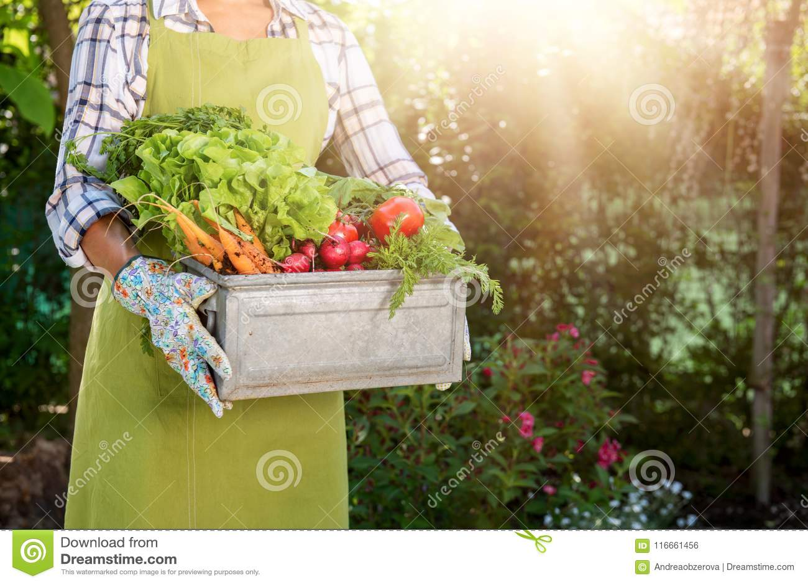 Cassa femminile Unrecognisable della tenuta dell agricoltore in pieno delle verdure appena raccolte nel suo giardino Bio- prodott