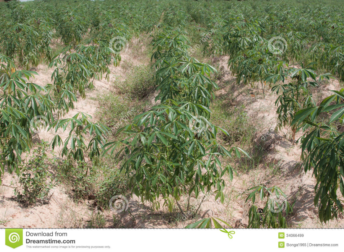 cassava crop Crops status cassava is a perennial woody shrub, grown as an annual cassava is a major source of low cost carbohydrates for populations in the humid tropics the largest producer of cassava is brazil, followed by thailand, nigeria, zaire and indonesia.