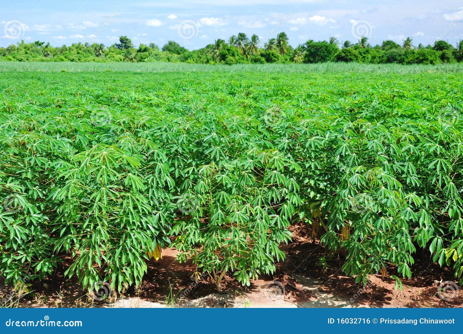 Cassava Plant Field. Royalty Free Stock Image - Image: 16032716