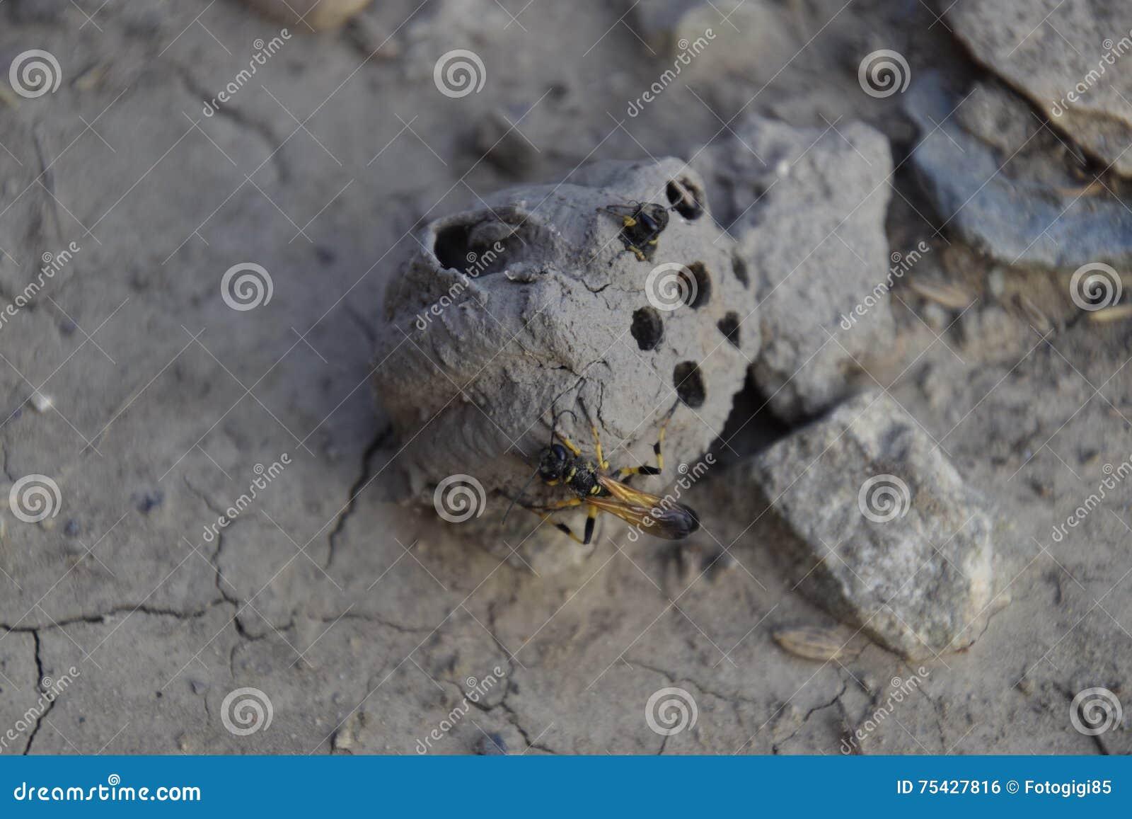 Cassez le nid d un frelon de l argile