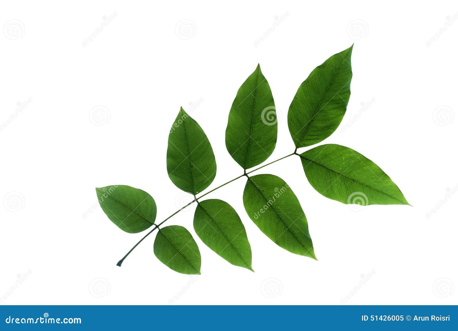 (Cassia Fistula L.), Leaf Form And Texture Stock Photo