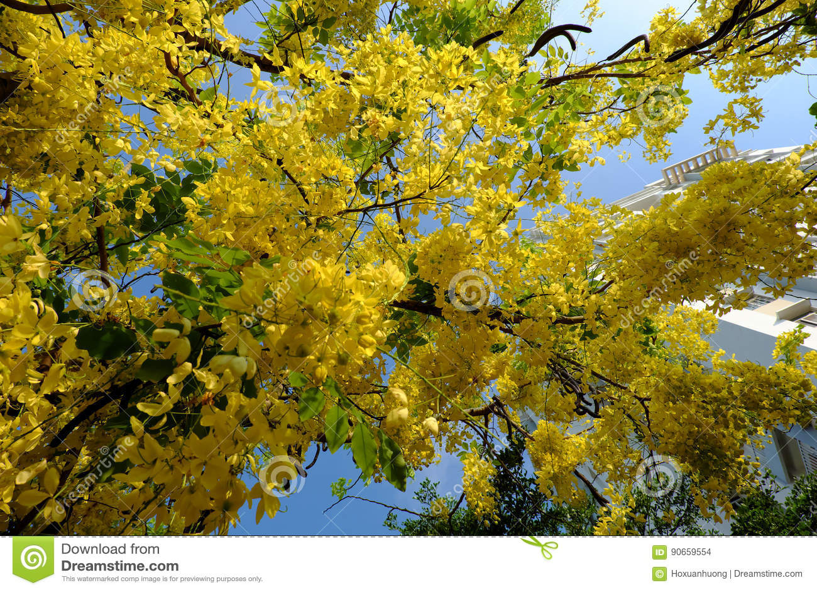 Cassia Fistula Tree Yellow Flower Stock Photo Image Of Floral