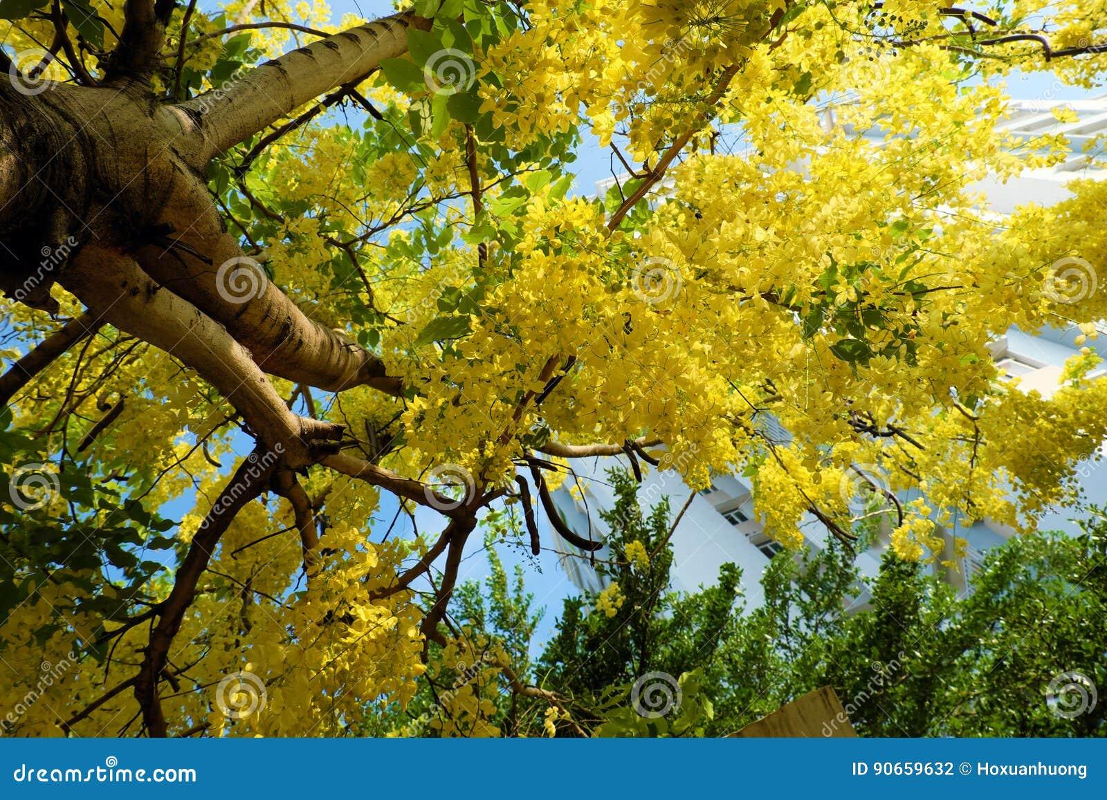 Cassia Fistula Tree Yellow Flower Stock Photo Image Of Asia