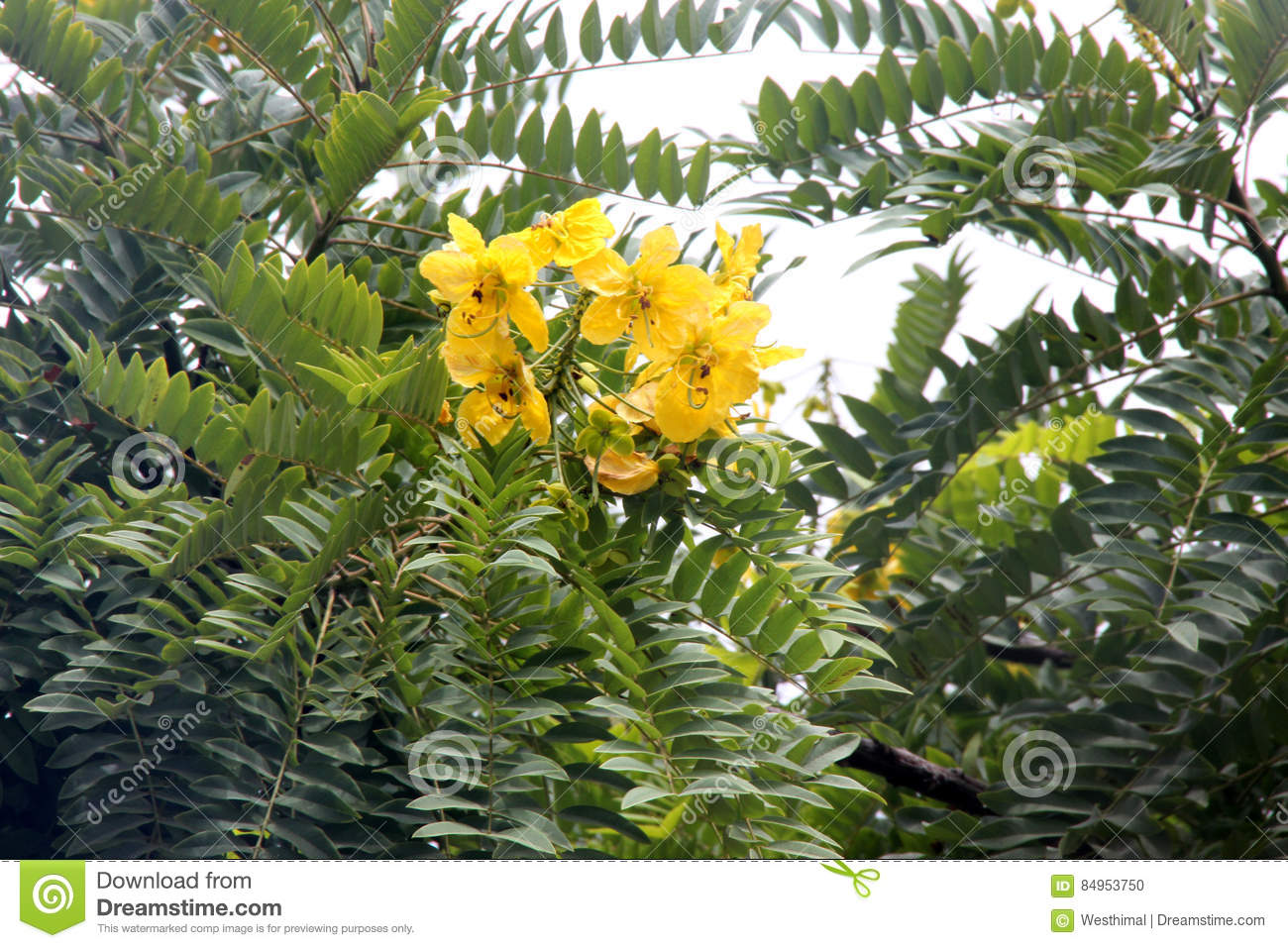 Pods Com Prices >> Cassia Leptophylla, Gold Medallion Tree Stock Photo ...