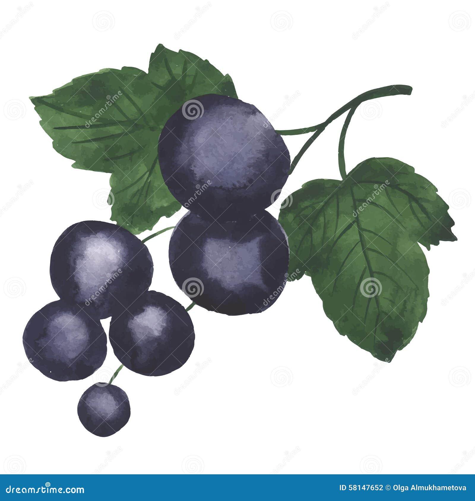 Cassis D Aquarelle Illustration De Vecteur Illustration Du Fruit