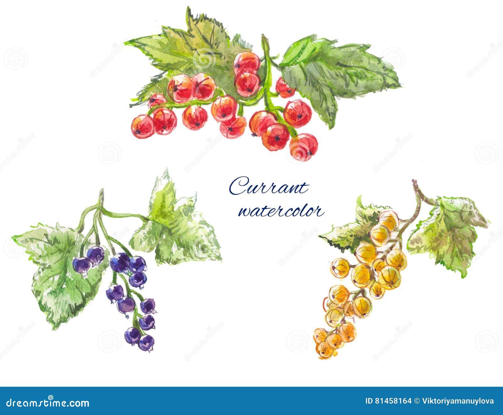 Cassis Jaune Rouge Et Positionnement D Aquarelle Illustration
