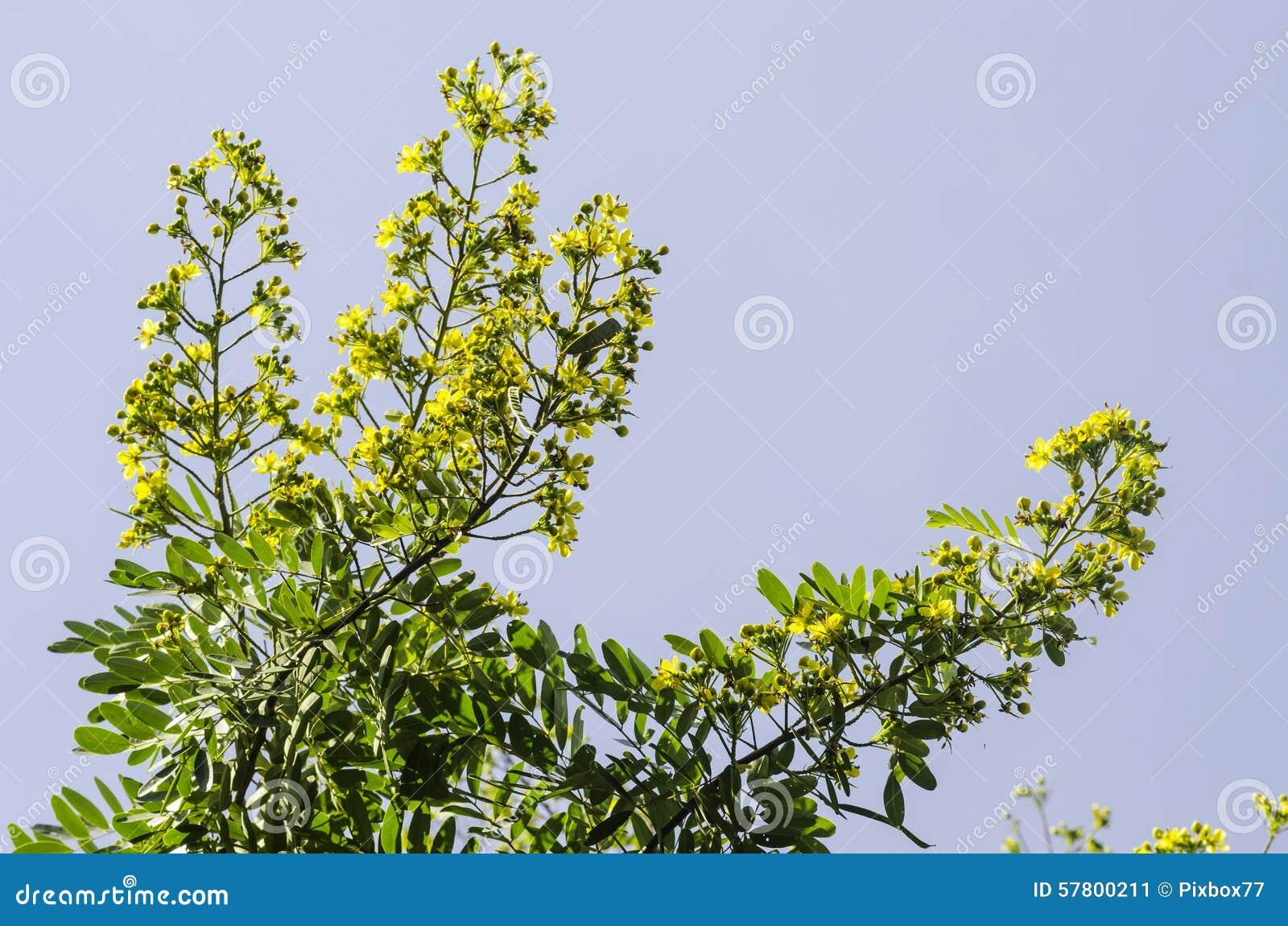 Cassodboom, Thaise koperpeul (Seneplantsiamea (Lam ) Irwin & Barneb