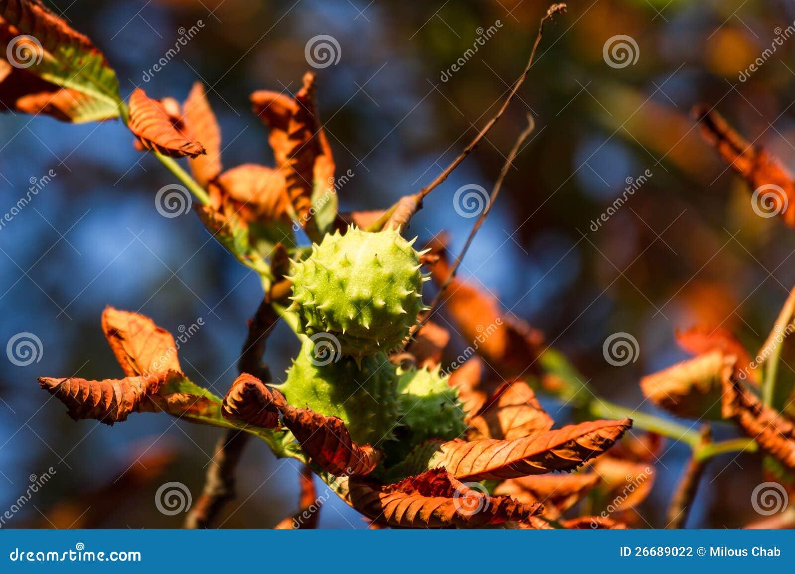 Castaña del otoño