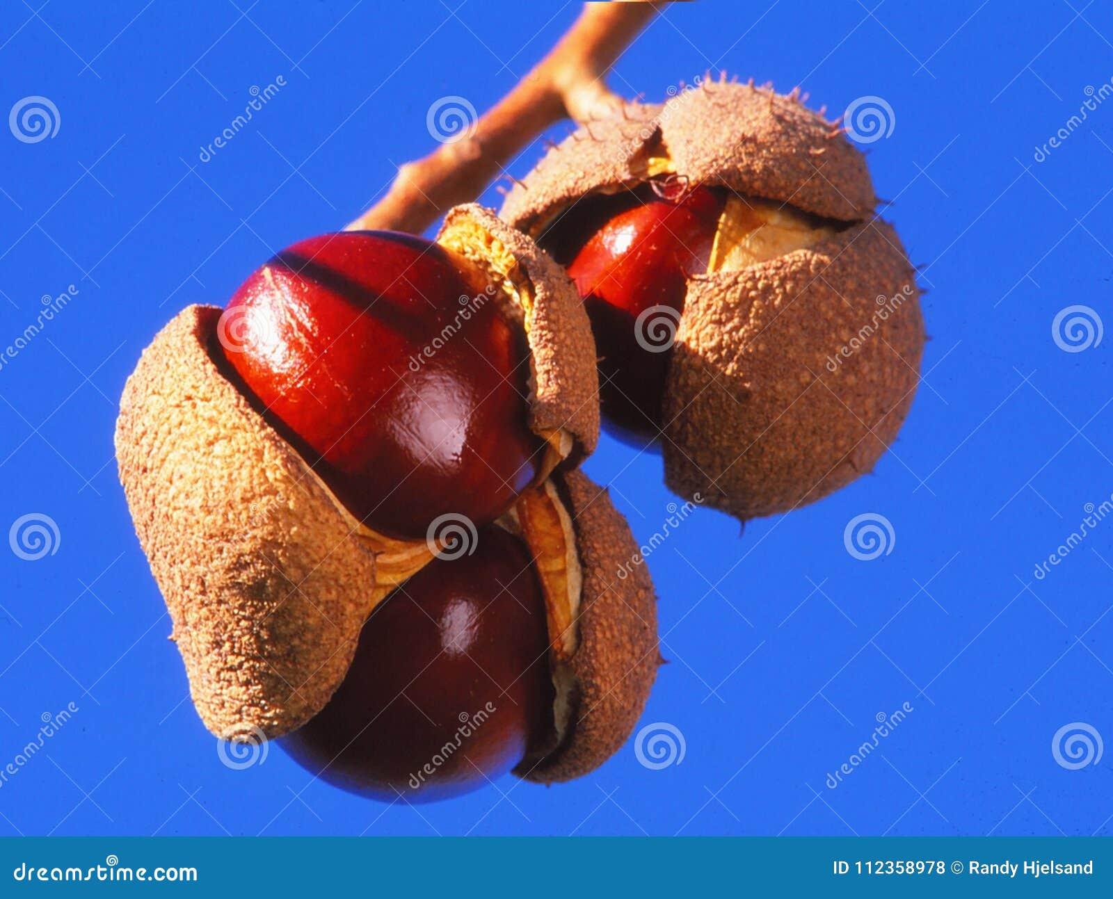Castañas de Indias f listas para cosechar