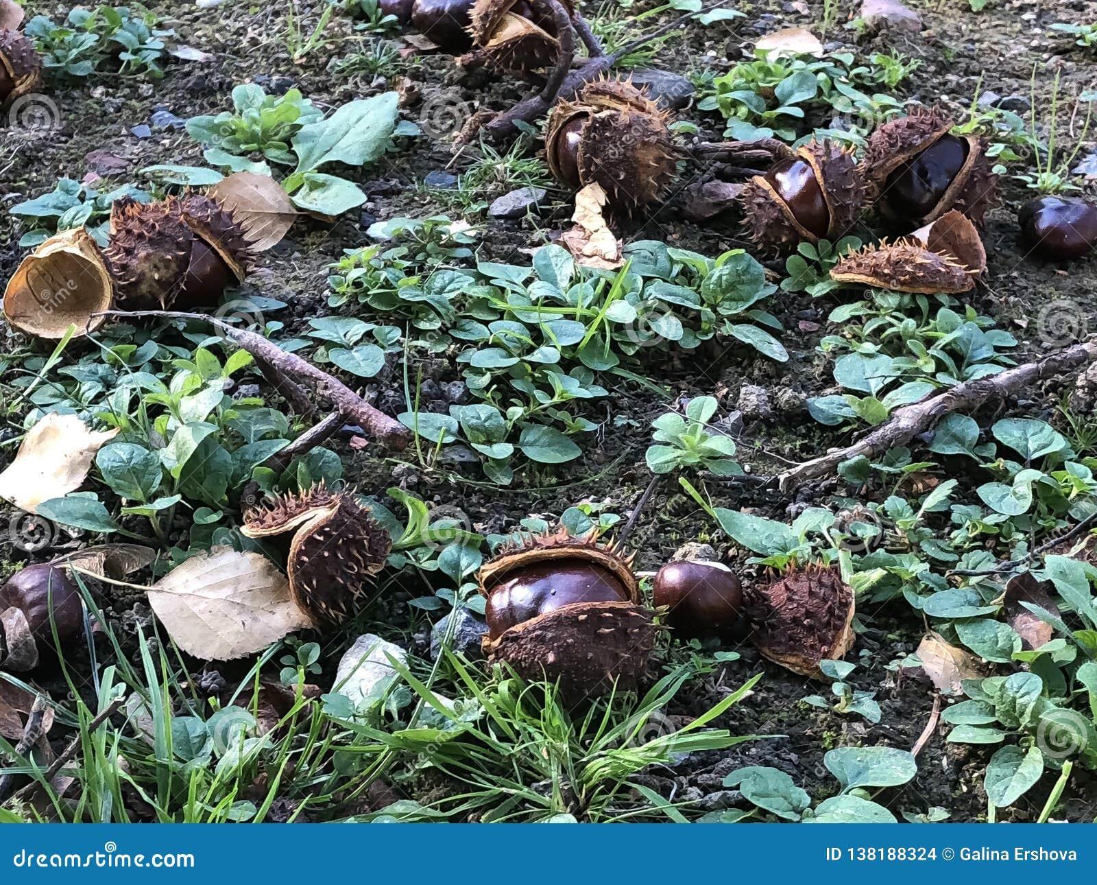 Castañas de Riped en hierba