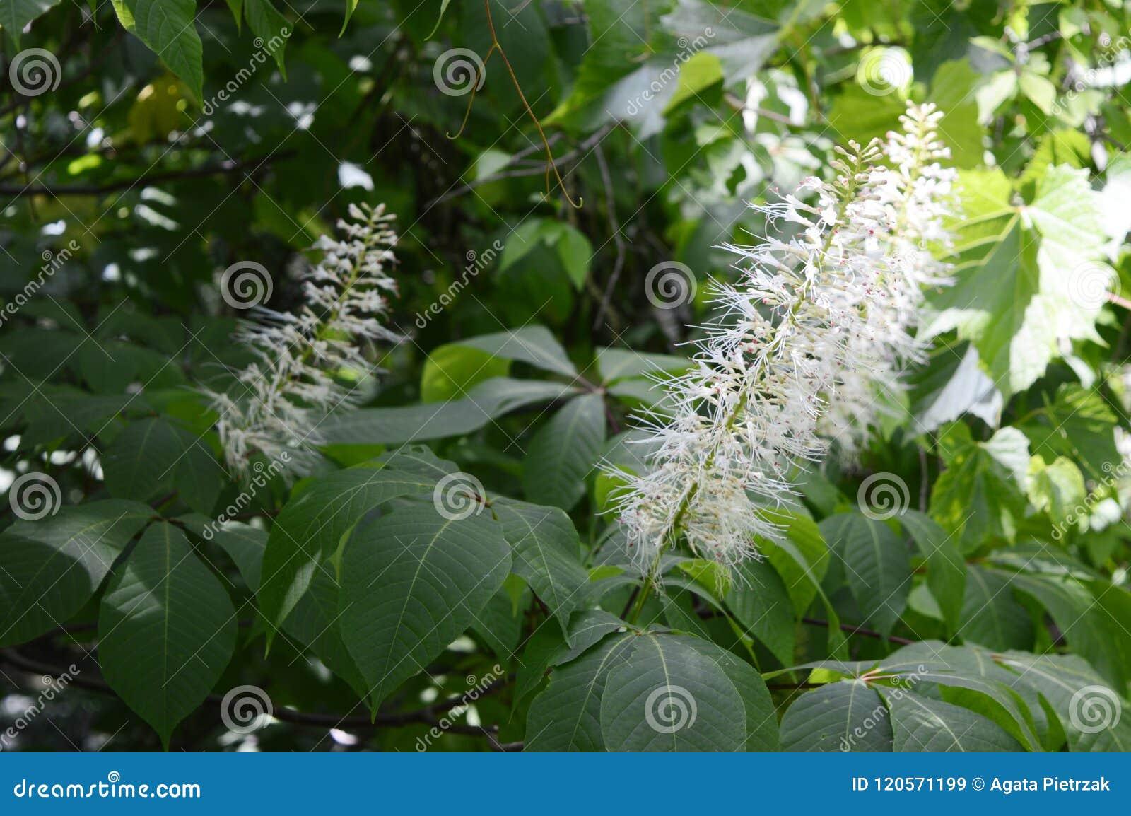 Blancas en de hojas indias castaño