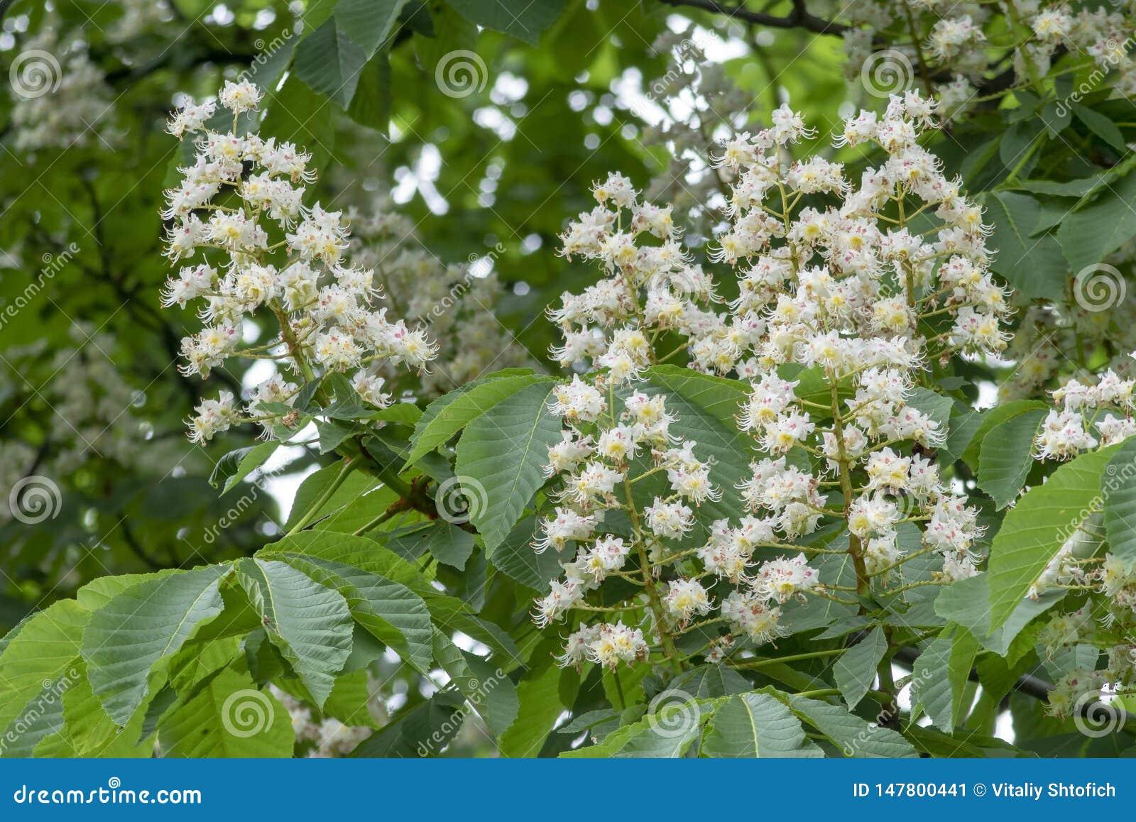Castagna del fiore della castagna su un fondo verde