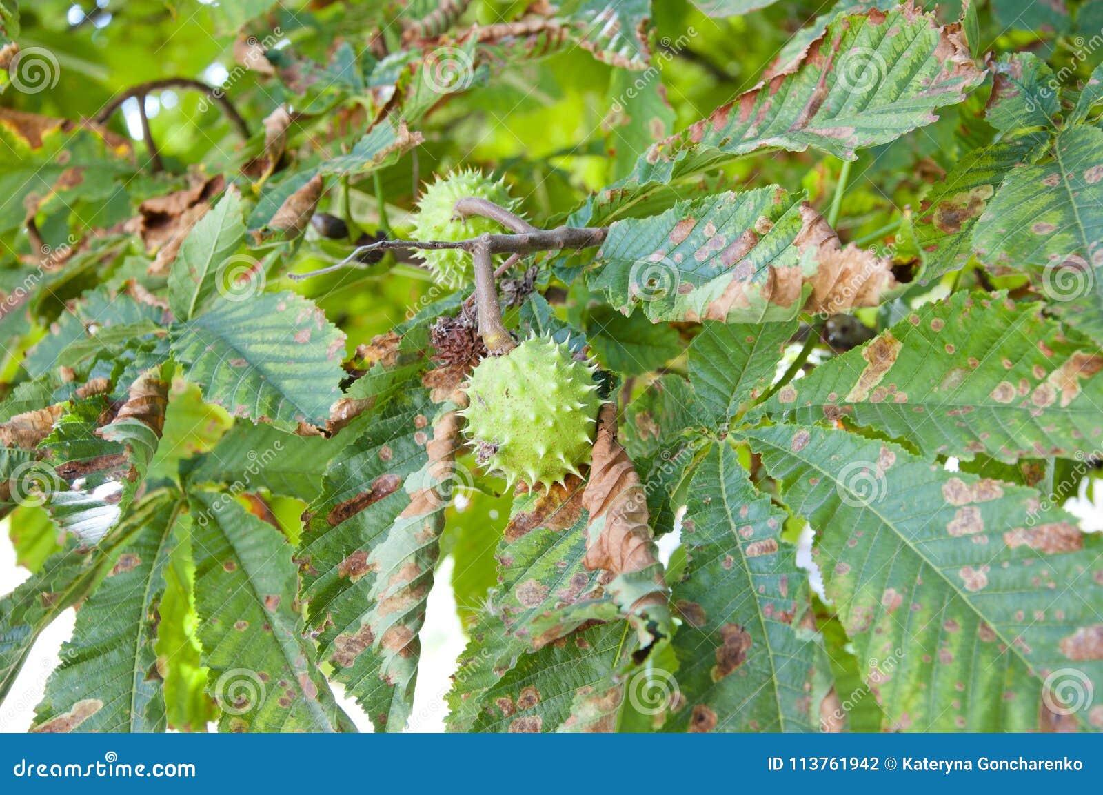 A castanha em uma árvore com verde sae no verão