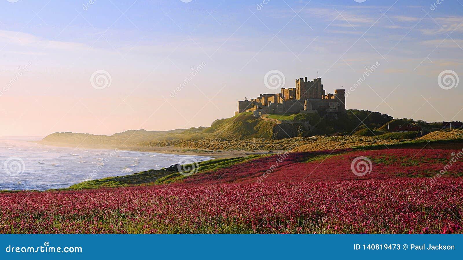 Castelo de Bamburgh, Northumberland & as candelárias cor-de-rosa
