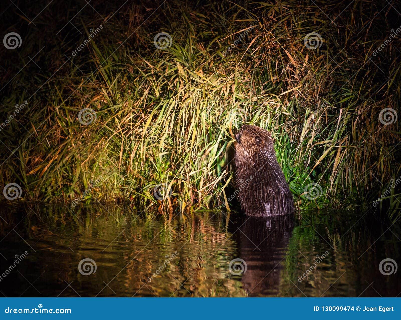 Castor europeu na noite do rio de Narew