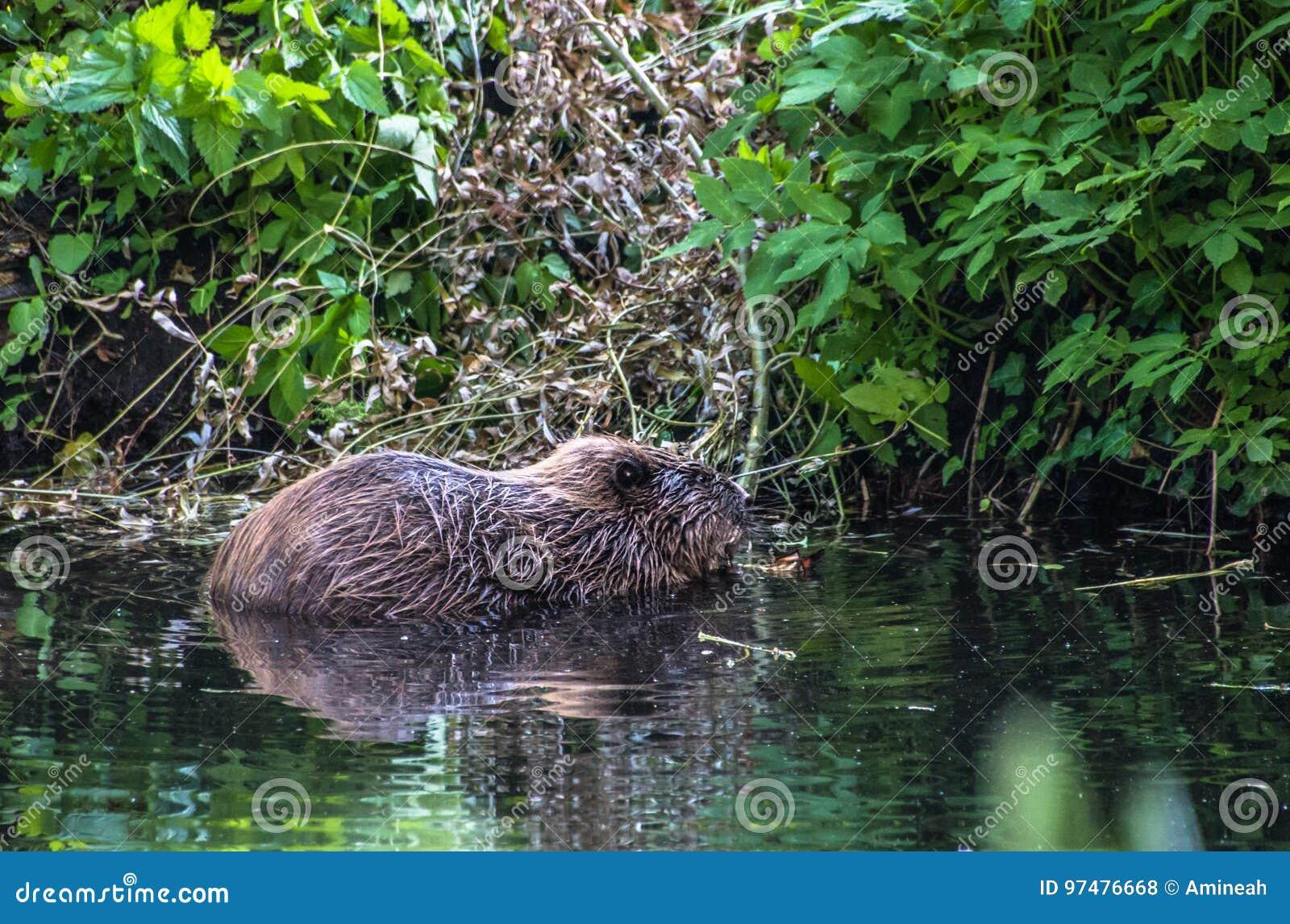 Castoro nell acqua nel fiume
