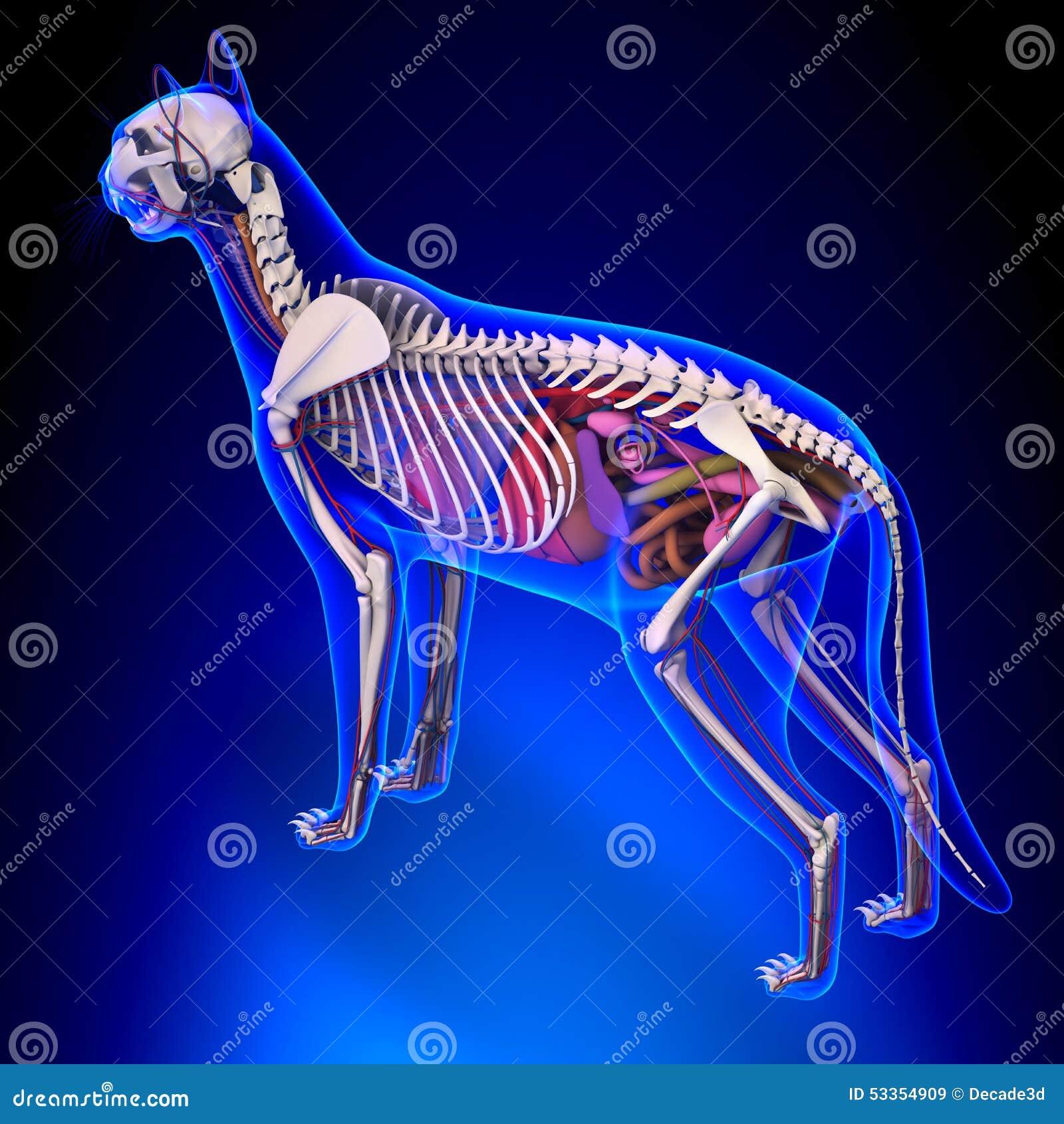 Cat Anatomy - Anatomía Interna De Un Gato Imagen de archivo - Imagen ...