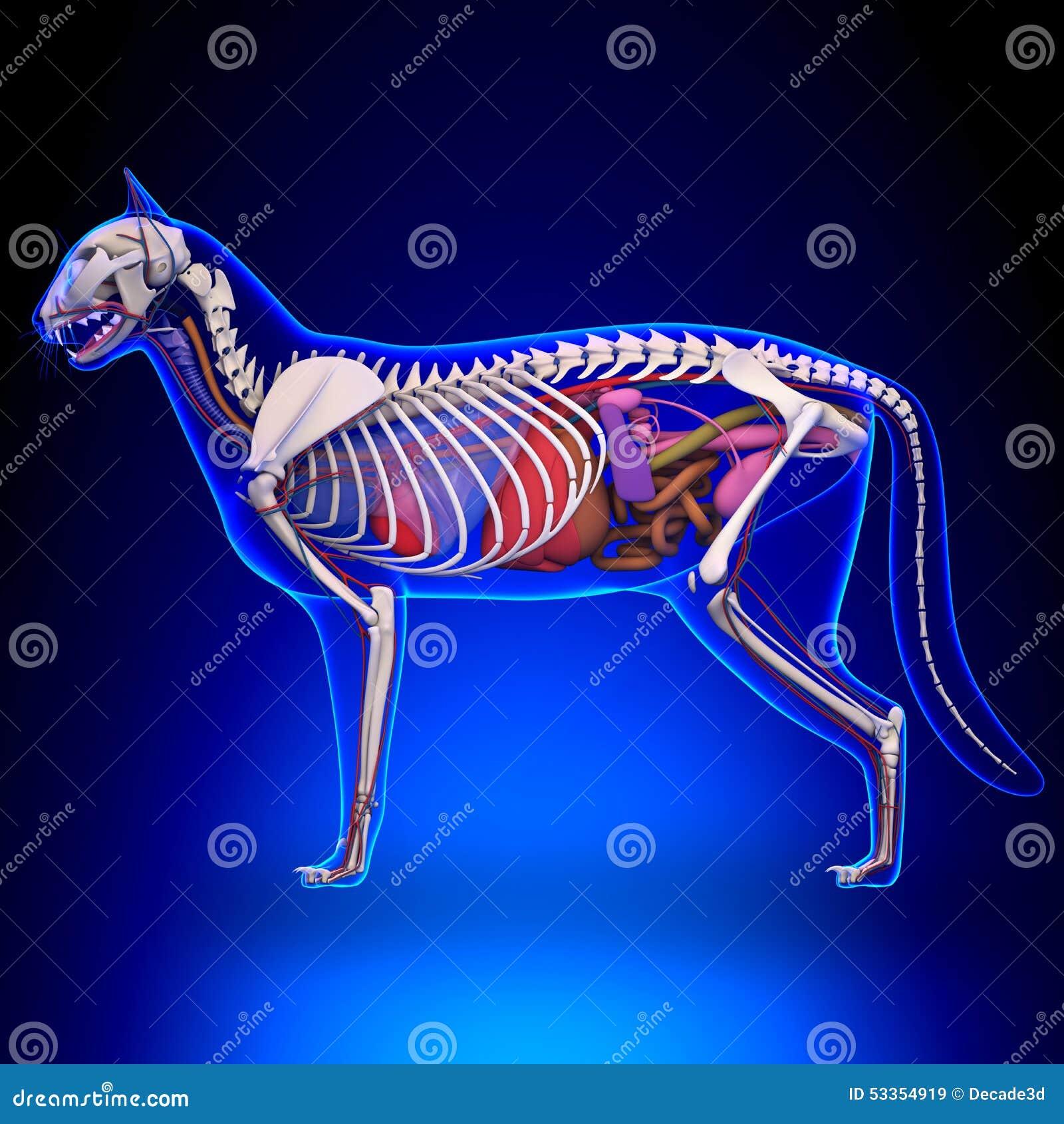 Dorable Gato Anatomía De órganos Regalo - Imágenes de Anatomía ...