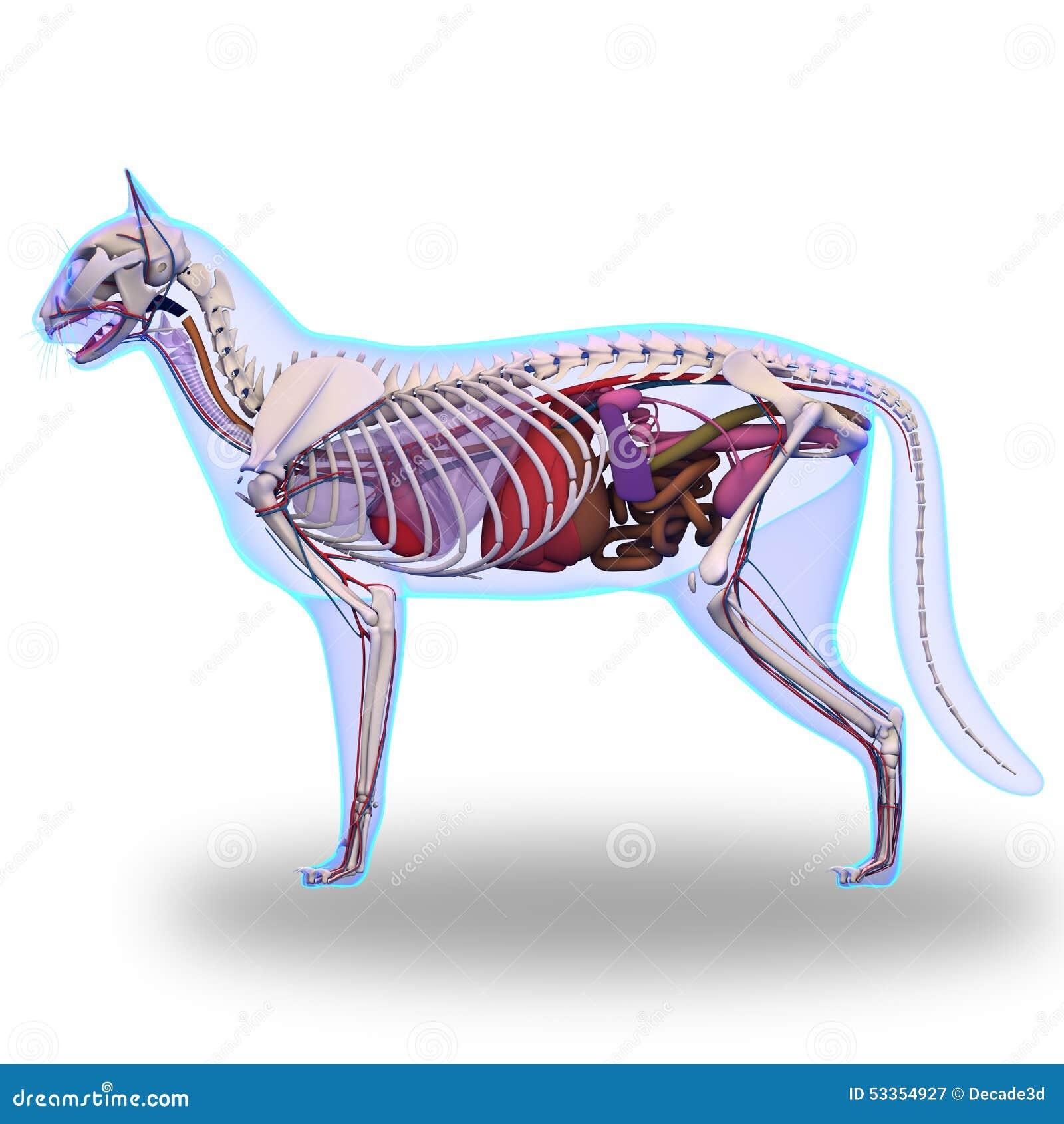 Cat Anatomy Internal Of A Stock Photo