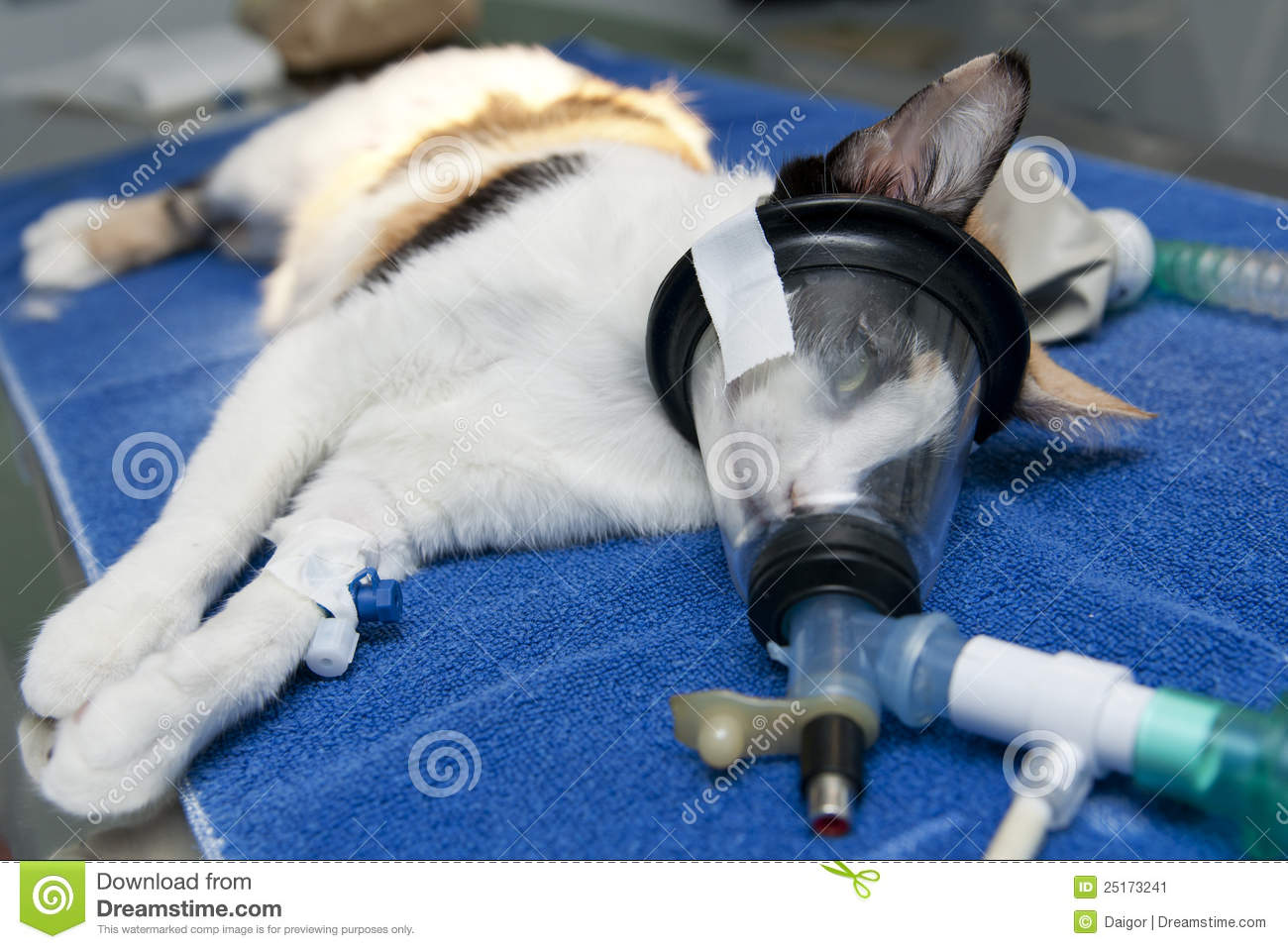 Cat anesthesia