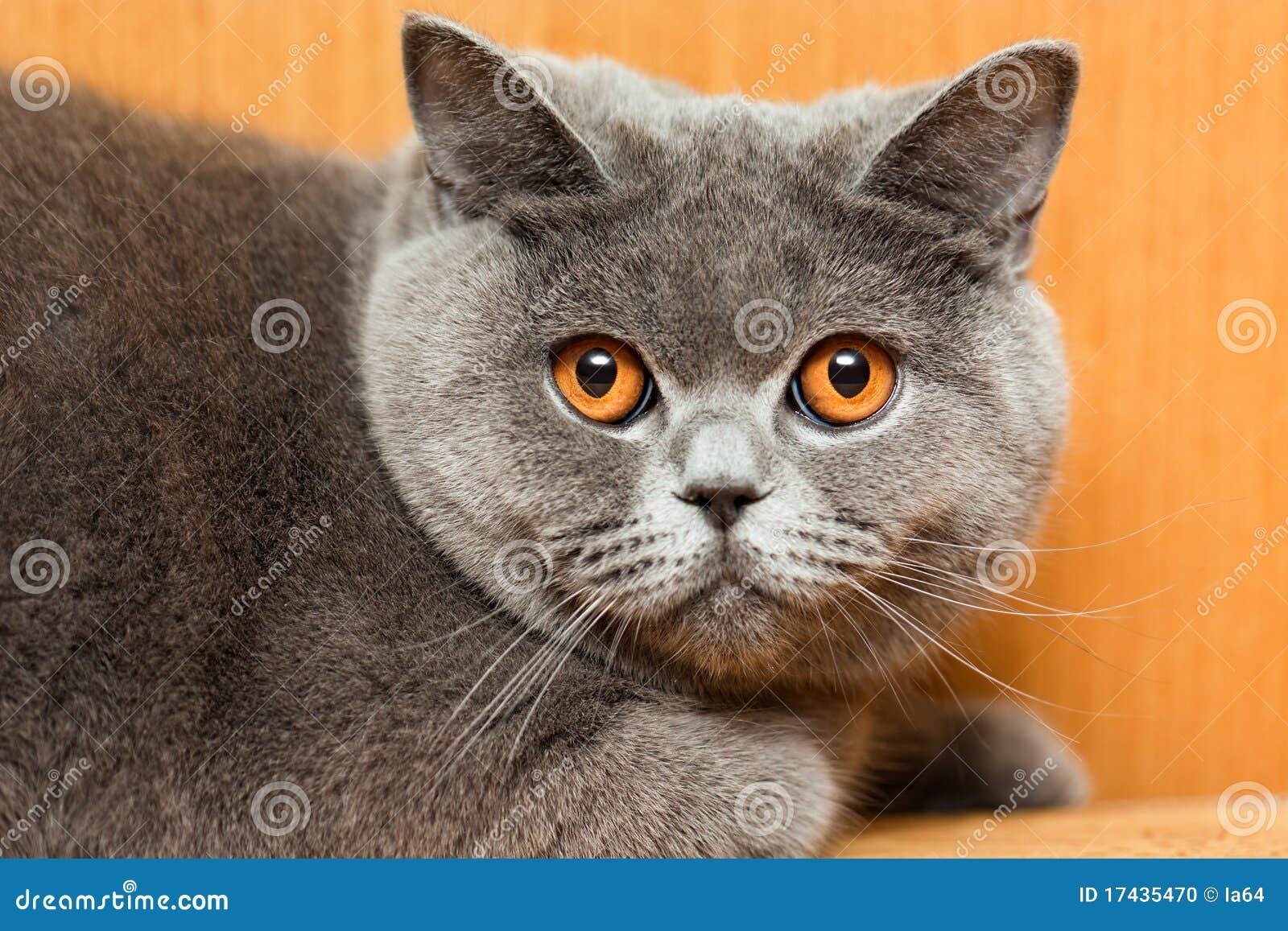 Feline animal pet british domestic cat looking eye.