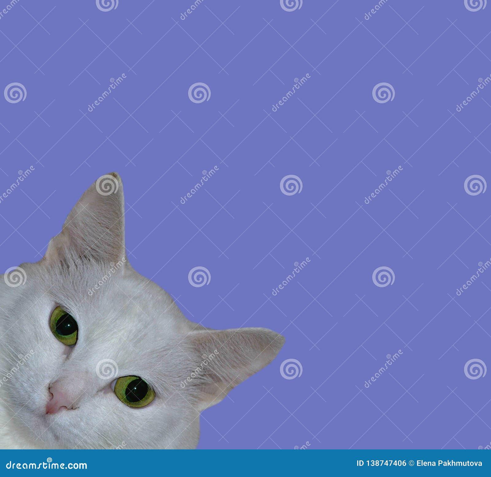 Cat, animal, kitten, white, pet, feline, cute, domestic, portrait, fur, eyes, pets, animals, kitty, looking, beautiful, young, ado