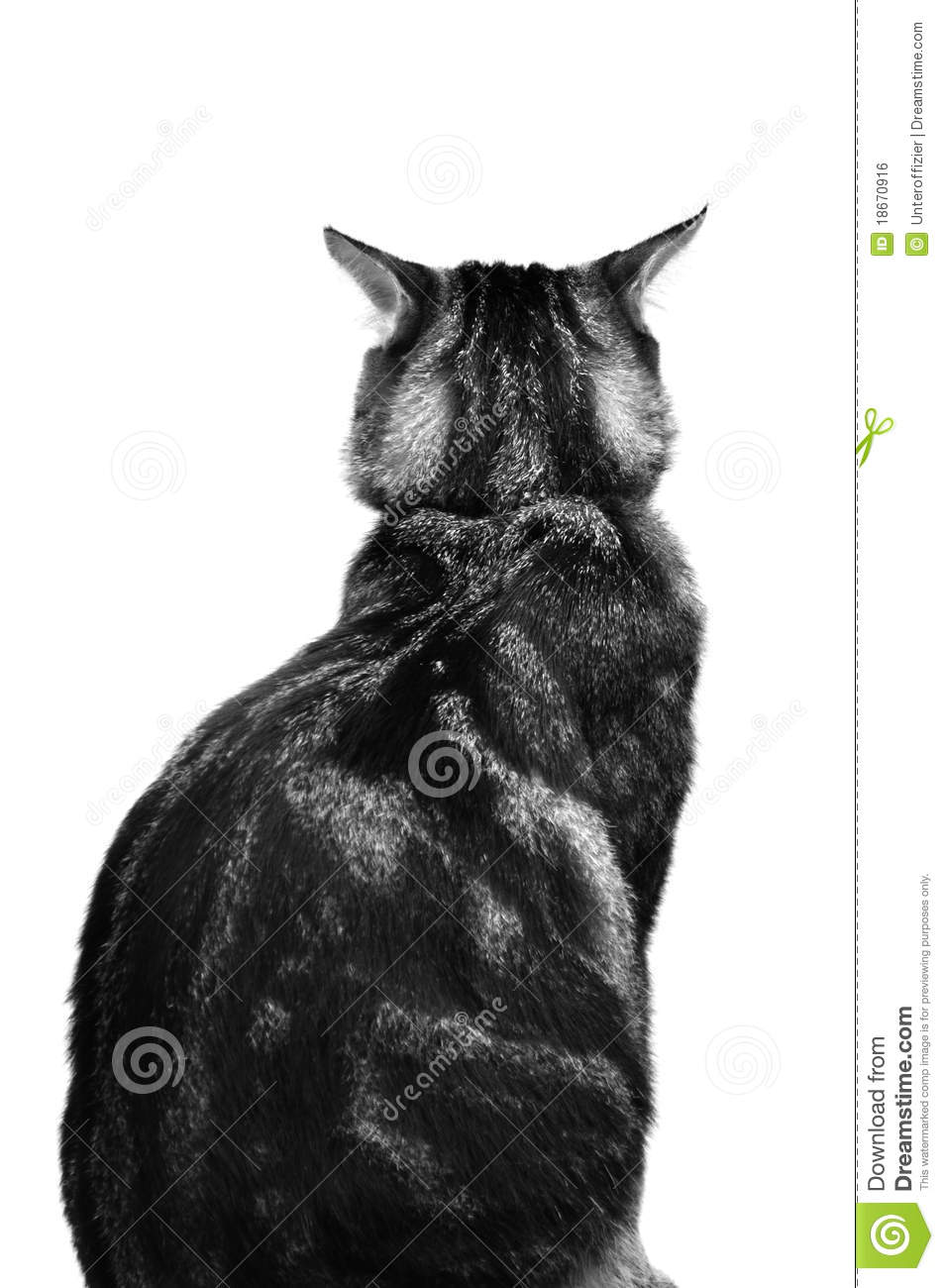 cat back view stock photo  image of isolated  white  view