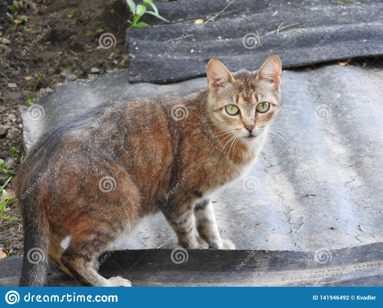 Cat on the background of the rural natural environment on a summer day