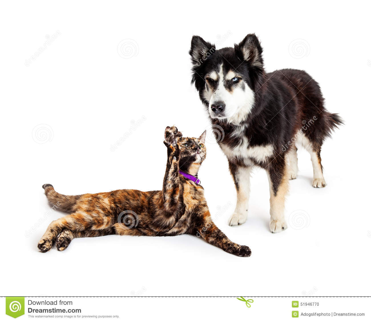 An angry large Alaskan Malamute mixed breed dog scowling at a cat that ...
