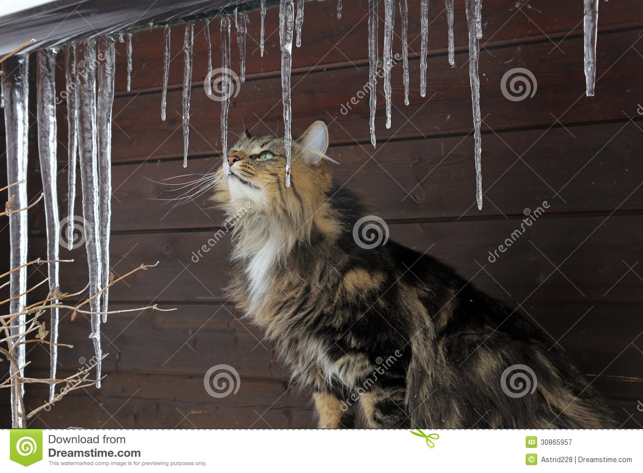 A Cat Behind Large Icicles Stock Image Image Of White