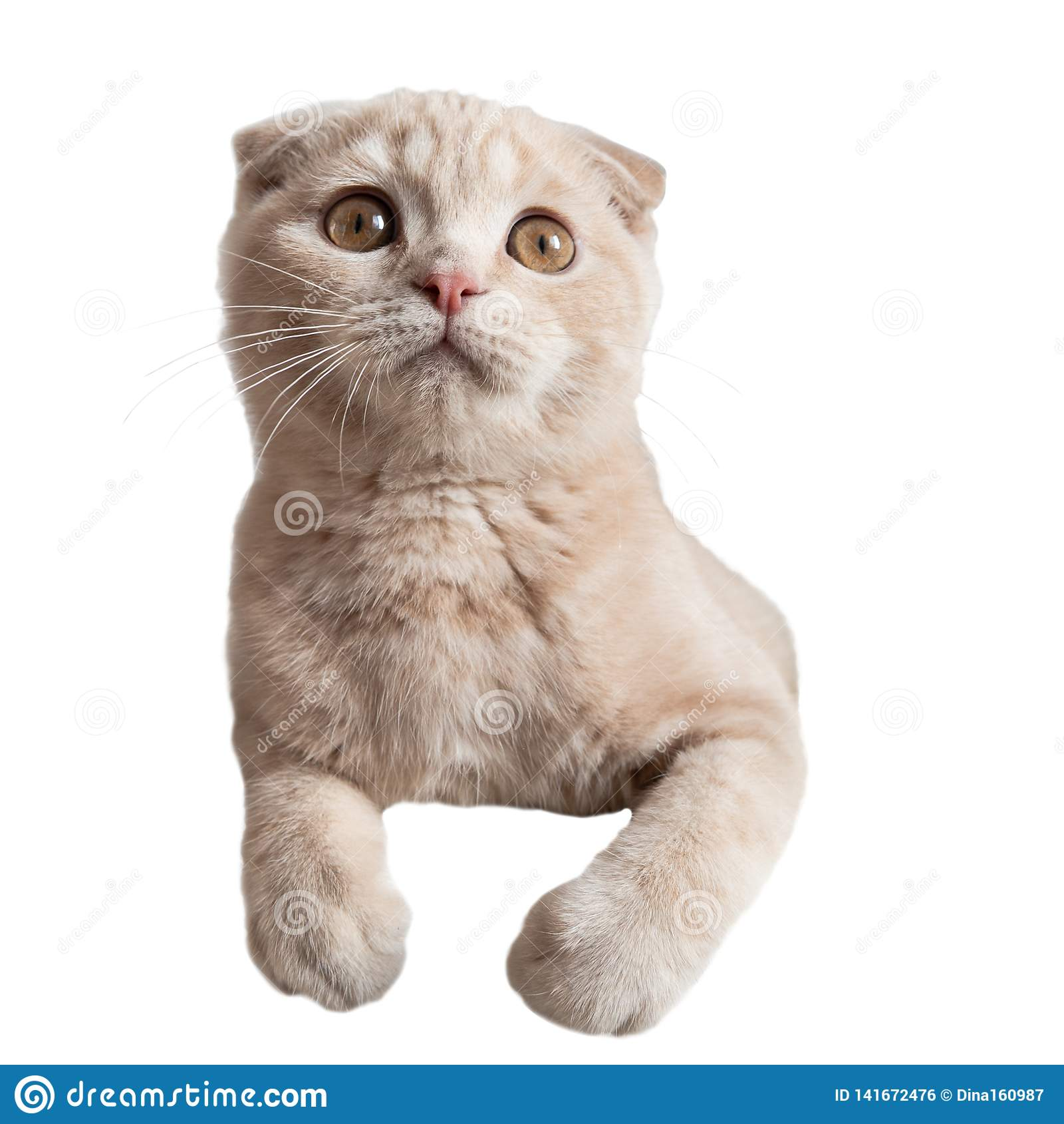 Cat with big surprised eyes  on white background. Crazy cat. Scottish fold kitten